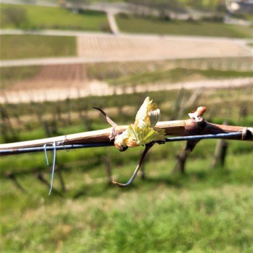 Austrieb Chardonnay 2020 - Badenweiler Römerberg - © Weingut Josef Walz - Heitersheim - Markgräflerland
